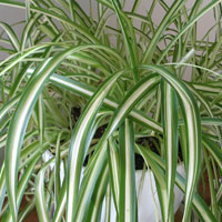 chlorophytum encyclo l 39 encyclop die cologique. Black Bedroom Furniture Sets. Home Design Ideas